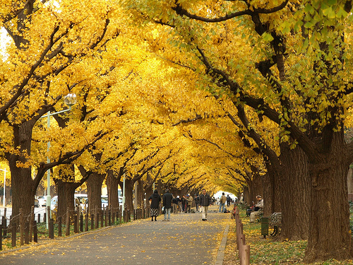 ginkgo Vitamins for memory   the memory effect of the Ginkgo Biloba tree